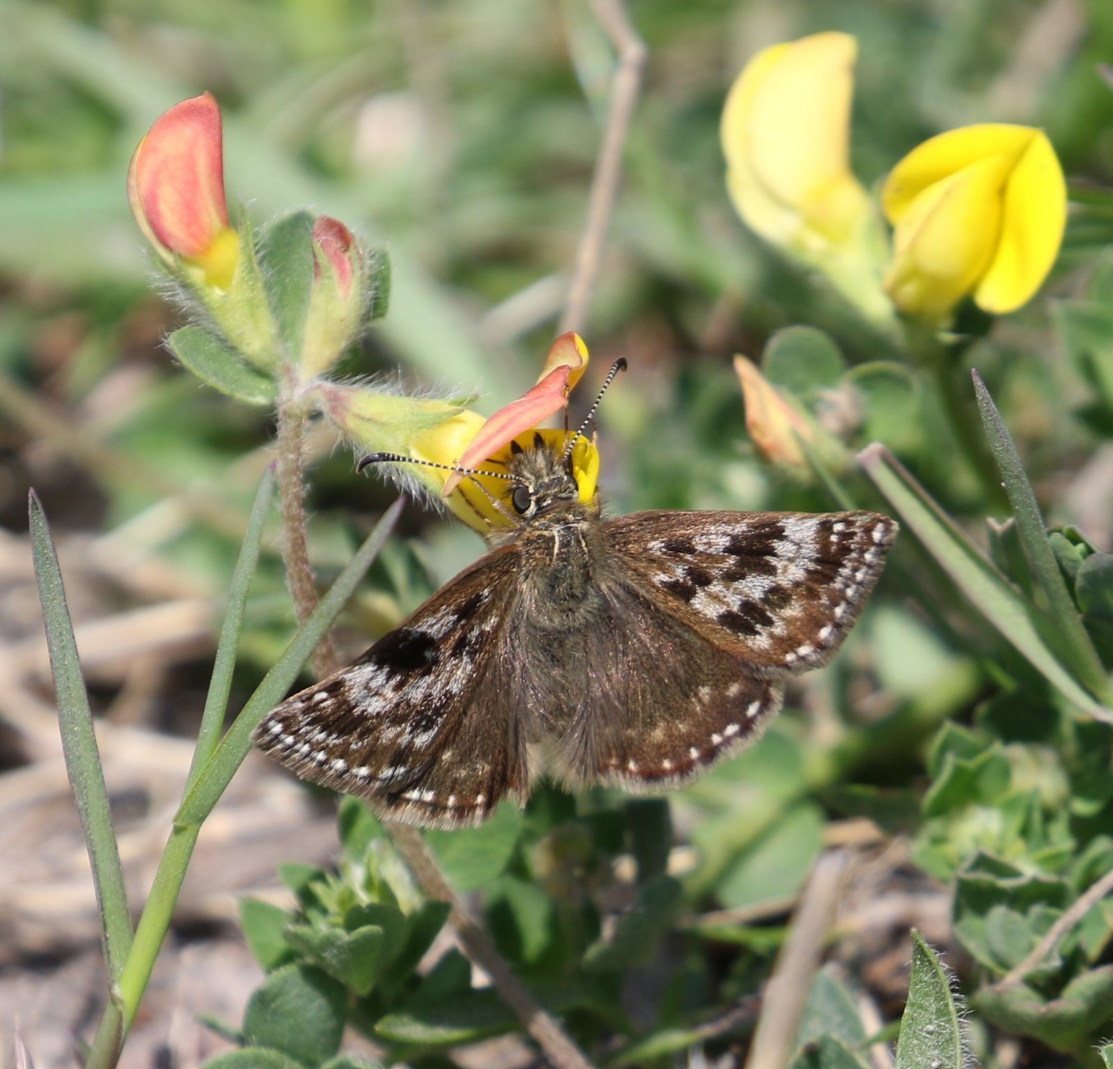 Sighting >> Butterfly Conservation - Cumbria Branch - Sighting Image
