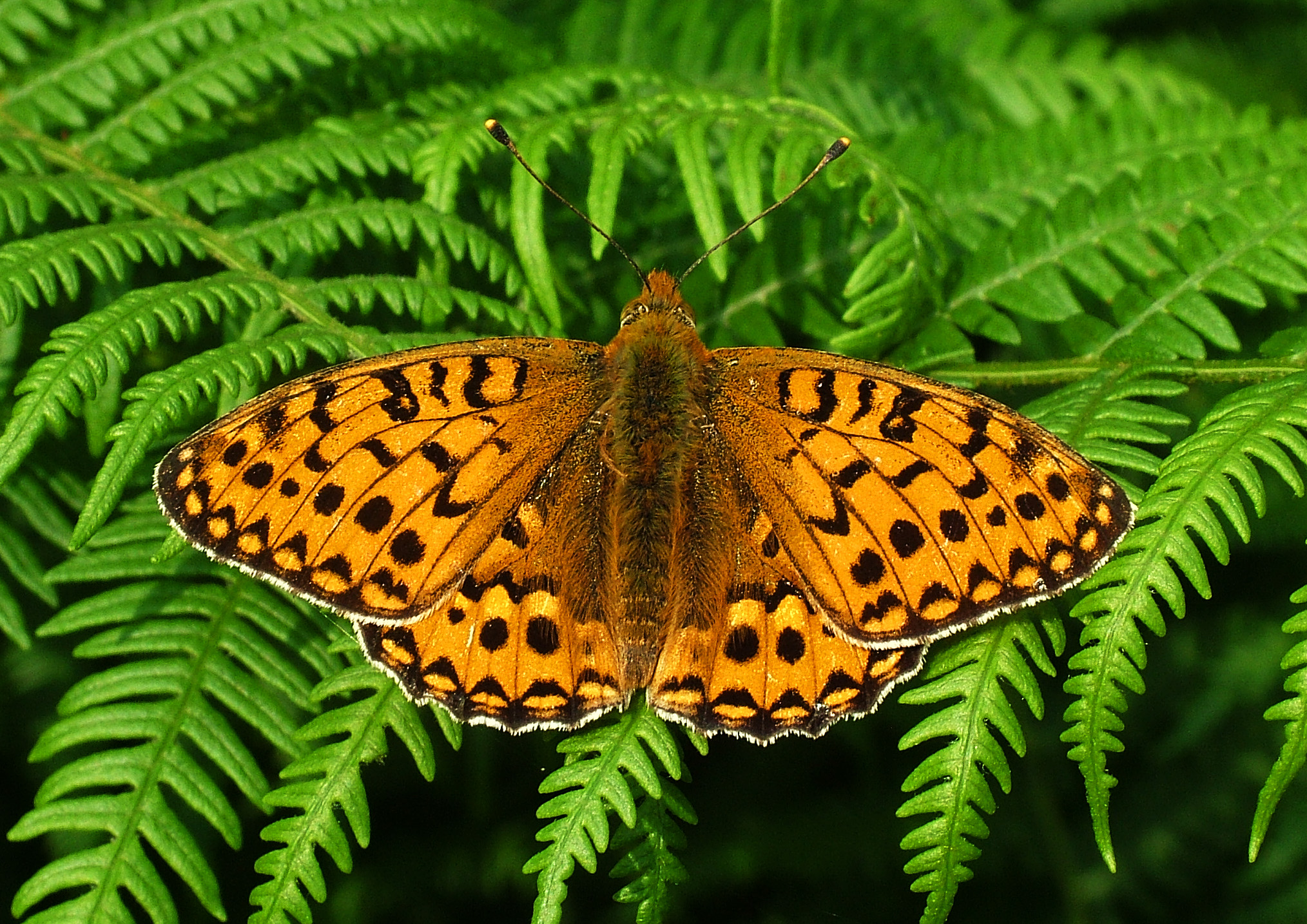 high_brown_fritillary.jpg